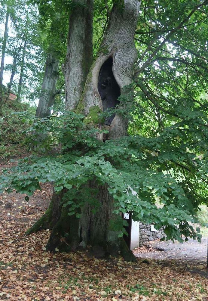 Bild07-Mächtigste_Linde_im_Schlosspark